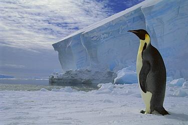 Emperor Penguin (Aptenodytes forsteri) on sea ice in midnight twilight, Ekstrom Ice Shelf, Weddell Sea, Antarctica  -  Tui De Roy