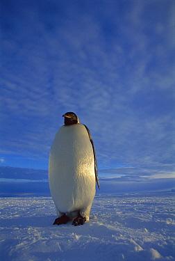 Emperor Penguin (Aptenodytes forsteri) individual on sea ice in midnight twilight, Ekstrom Ice Shelf, Weddell Sea, Antarctica  -  Tui De Roy