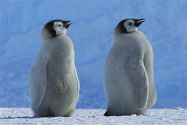 Emperor Penguin (Aptenodytes forsteri) chicks panting in warm spring weather, Riiser-Larsen Ice Shelf, Weddell Sea, Antarctica  -  Tui De Roy