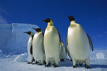 Emperor Penguin (Aptenodytes forsteri) group on sea ice, No-Name Rookery, Near Elkstrom Ice Shelf, Princess Martha Coast, Weddell Sea, Antarctica  -  Tui De Roy