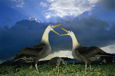 Waved Albatross (Phoebastria irrorata) courtship dance under rainy season clouds, Punta Cevallos, Espanola Island, Galapagos Islands, Ecuador  -  Tui De Roy