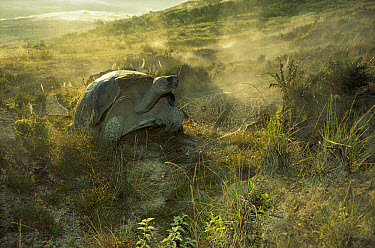 Volcan Alcedo Giant Tortoise (Chelonoidis vandenburghi) dew laden spider webs around fumarole vents, caldera rim, Alcedo Volcano, Isabella Island, Galapagos Islands, Ecuador  -  Tui De Roy