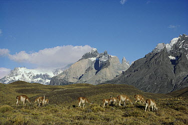 Guanaco (Lama guanicoe) family herd with windswept peaks in background, Torres del Paine National Park, Chile  -  Tui De Roy