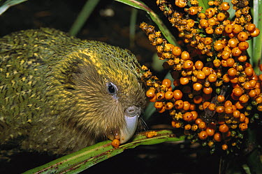 Kakapo (Strigops habroptilus) flightless nocturnal parrot, hand-reared, feeding on Astelia berries, Codfish Island, Whenua Hoa, New Zealand  -  Tui De Roy