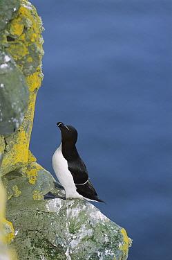 Razorbill (Alca torda) breeding along cliff face, Sumburgh Head, Shetland Islands, United Kingdom  -  Tui De Roy
