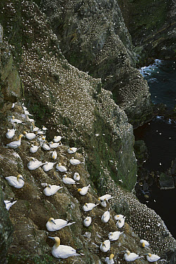 Northern Gannet (Morus bassanus) enormous and expanding nesting colony on sea stacks and cliffs, Hermaness, Shetland Islands, United Kingdom  -  Tui De Roy
