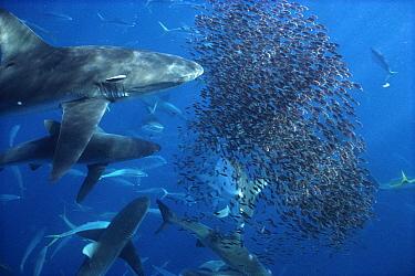 Silky Shark (Carcharhinus falciformis) offshore feeding frenzy, Wenman Island, Galapagos Islands, Ecuador  -  Tui De Roy