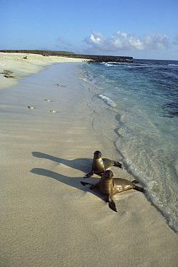 Galapagos Sea Lion (Zalophus wollebaeki) young pups playing in wave wash while mothers are away feeding, Seymour Island, Galapagos Islands, Ecuador  -  Tui De Roy