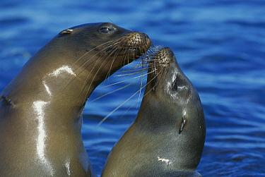 Galapagos Sea Lion (Zalophus wollebaeki) females socializing, Punta Espinosa, Fernandina Island, Galapagos Islands, Ecuador  -  Tui De Roy