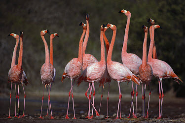 Greater Flamingo (Phoenicopterus ruber) synchronized group courtship dance, Rabida Island, Galapagos Islands, Ecuador  -  Tui De Roy