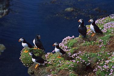 Atlantic Puffin (Fratercula arctica) group courting amongst Sea Thrift (Armeria maritima) on cliff edge, Sumburgh Head, Shetland Islands, United Kingdom  -  Tui De Roy