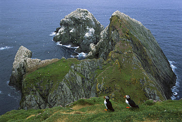 Atlantic Puffin (Fratercula arctica) busy colony on cliff edge with Sea Thrift (Armeria maritima), Hermaness, Unst Island, Shetland Islands, United Kingdom  -  Tui De Roy