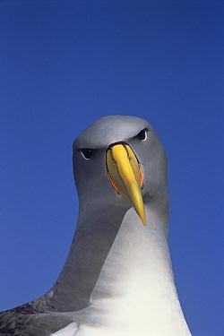 Chatham Albatross (Thalassarche eremita) portrait, critically endangered, The Pyramid, Chatham Islands  -  Tui De Roy