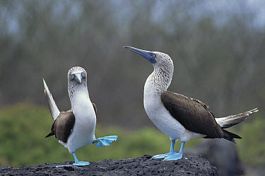 Blue-footed Booby (Sula nebouxii) pair performing courtship dance, Hood Island, Galapagos Islands, Ecuador  -  Tui De Roy