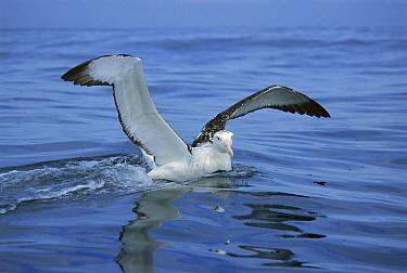 Antipodean Albatross (Diomedea antipodensis) landing, Kaikoura, New Zealand  -  Tui De Roy
