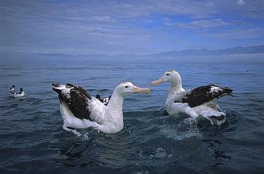 Antipodean Albatross (Diomedea antipodensis) pair, Kaikoura, New Zealand  -  Tui De Roy