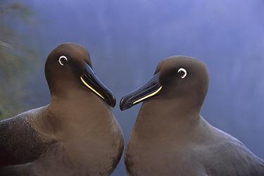 Sooty Albatross (Phoebetria fusca), Gough Island, South Atlantic  -  Tui De Roy