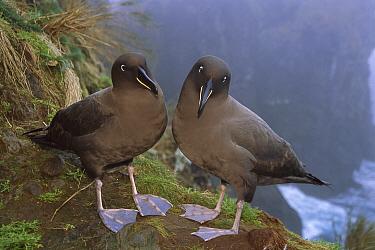 Sooty Albatross (Phoebetria fusca) pair on cliff edge, Gough Island, South Atlantic  -  Tui De Roy
