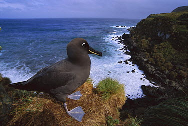 Sooty Albatross (Phoebetria fusca) on cliff edge, Gough Island, South Atlantic  -  Tui De Roy