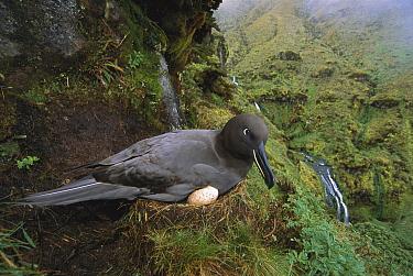 Sooty Albatross (Phoebetria fusca) nesting on cliff edge, Gough Island, South Atlantic  -  Tui De Roy