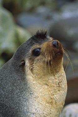 Subantarctic Fur Seal (Arctocephalus tropicalis) male, Gough Island, South Atlantic  -  Tui De Roy