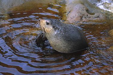 Subantarctic Fur Seal (Arctocephalus tropicalis) scratching itself, Gough Island, South Atlantic  -  Tui De Roy