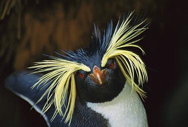 Rockhopper Penguin (Eudyptes chrysocome) portrait, Gough Island, South Atlantic  -  Tui De Roy
