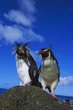 Rockhopper Penguin (Eudyptes chrysocome) pair on rock, Nightingale Island, South Atlantic  -  Tui De Roy