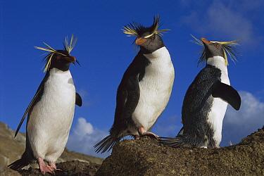 Rockhopper Penguin (Eudyptes chrysocome) trio on rock, Nightingale Island, South Atlantic  -  Tui De Roy