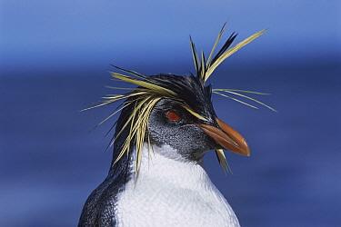 Rockhopper Penguin (Eudyptes chrysocome) portrait, Nightingale Island, South Atlantic  -  Tui De Roy