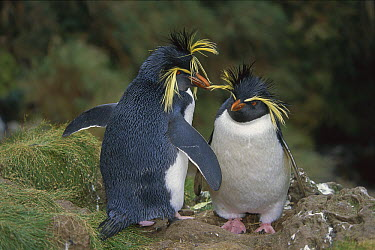 Rockhopper Penguin (Eudyptes chrysocome) mating pair, Gough Island, South Atlantic  -  Tui De Roy