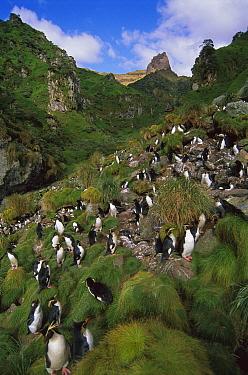 Rockhopper Penguin (Eudyptes chrysocome) nesting colony, Gough Island, South Atlantic  -  Tui De Roy
