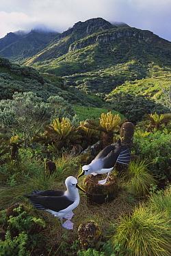Yellow-nosed Albatross (Thalassarche chlororhynchos) pair nesting, Gough Island, South Atlantic  -  Tui De Roy