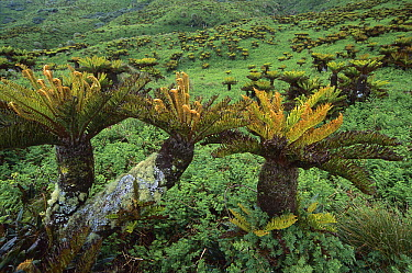 Gough Tree Fern (Blechnum palmiforme) clusters growing in waterlogged coastal plateau, Gough Island, South Atlantic  -  Tui De Roy
