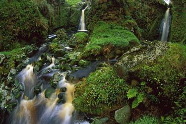 Waterfalls among ferns and mosses, Gough Island, South Atlantic  -  Tui De Roy