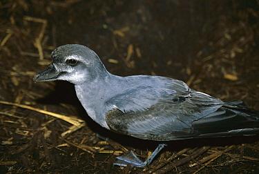 Broad-billed Prion (Pachyptila vittata) near nest burrow, Nightingale Island, South Atlantic  -  Tui De Roy