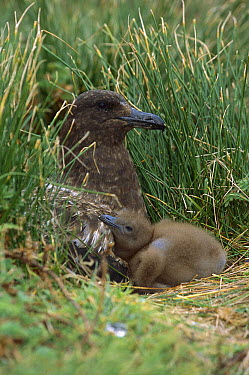 Antarctic Skua (Catharacta antarctica) parent and chick at nest in open moorland, Gough Island, South Atlantic  -  Tui De Roy