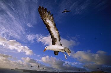 Campbell Albatross (Thalassarche impavida) immature flying, North Cape, Campbell Island, sub-Antarctica New Zealand  -  Tui De Roy