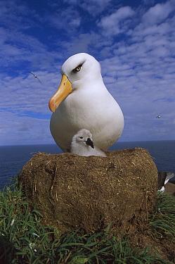 Campbell Albatross (Thalassarche impavida) parent guarding chick, North Cape, Campbell Island, sub-Antarctica New Zealand  -  Tui De Roy
