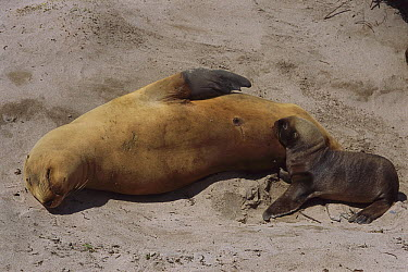 Hooker's Sea Lion (Phocarctos hookeri) sleeping mother with nursing pup, Enderby Island, Auckland Islands, sub-Antarctic New Zealand  -  Tui De Roy