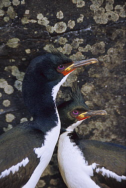 Auckland Island Cormorant (Leucocarbo colensoi) pair in full breeding colors, Enderby Island, Auckland Islands, sub-Antarctic New Zealand  -  Tui De Roy