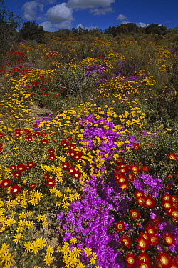 Dewflowers (Drosanthemum sp) and other blooms, Little Karoo, South Africa  -  Tui De Roy