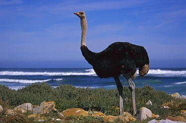 Ostrich (Struthio camelus) male in coastal meadow, Cape of Good Hope, South Africa  -  Tui De Roy