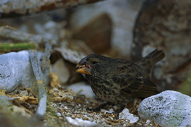 Large Ground-Finch (Geospiza magnirostris) feeding on seeds, Genovesa Island, Galapagos Islands, Ecuador  -  Tui De Roy