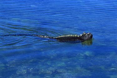 Marine Iguana (Amblyrhynchus cristatus) swimmming in tidal pool, Fernandina Island, Galapagos Islands, Ecuador  -  Tui De Roy