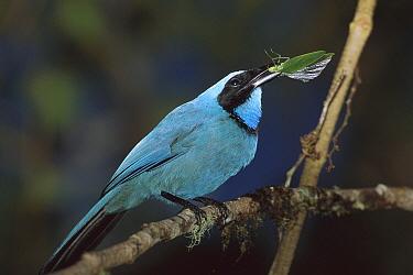 Turquoise Jay (Cyanolyca turcosa) with insect prey, Bellavista Cloud Forest Reserve, Ecuador  -  Tui De Roy