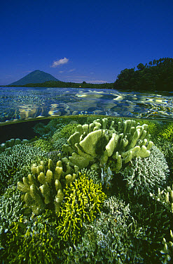 Garden of Hard Corals just beneath the water's surface at Bunaken Island, Manado Tua Marine National Park, Manado, North Sulawesi, Indonesia  -  Fred Bavendam