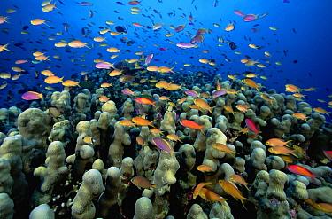 Several species of Basslets (Pseudanthias sp) swarming above a Columnar Leaf Coral (Pavona clavus), Milne Bay, Papua New Guinea  -  Fred Bavendam