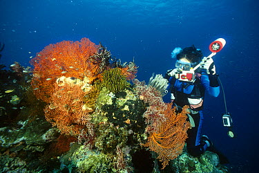 Diver photographing a Coral Bommie adorned with Crinoids and Gorgonian Sea Fans (Melithaea sp), Menjangan Island, Bali, Indonesia  -  Fred Bavendam
