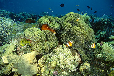 Clark's Anemonefish (Amphiprion clarkii) and Golden Anemonefish (Amphiprion sandaracinos) and sea anemones on a shallow reef, Bali, Indonesia  -  Fred Bavendam